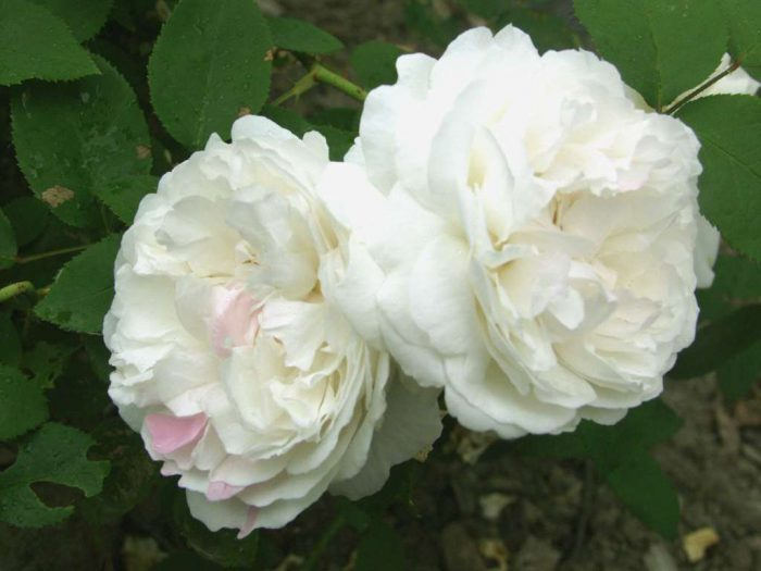 Rosa Winchester Cathedral_makro2